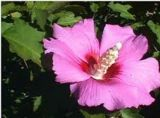 Дървовидна ружа. Hibiscus syriacus.