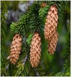 Смърч. Picea Abies.