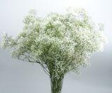 """Продава отрязан цвят Гипсофила """"Милион звезди"""", Gypsophila Paniculata"""